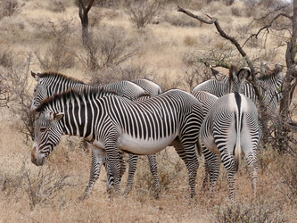 Buffalo Springs National Reserve - Zebras