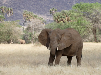 Buffalo Springs National Reserve - Elefant