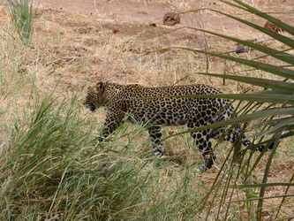 Buffalo Springs National Reserve - Leopard