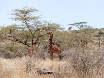 Buffalo Springs National Reserve - Giraffen